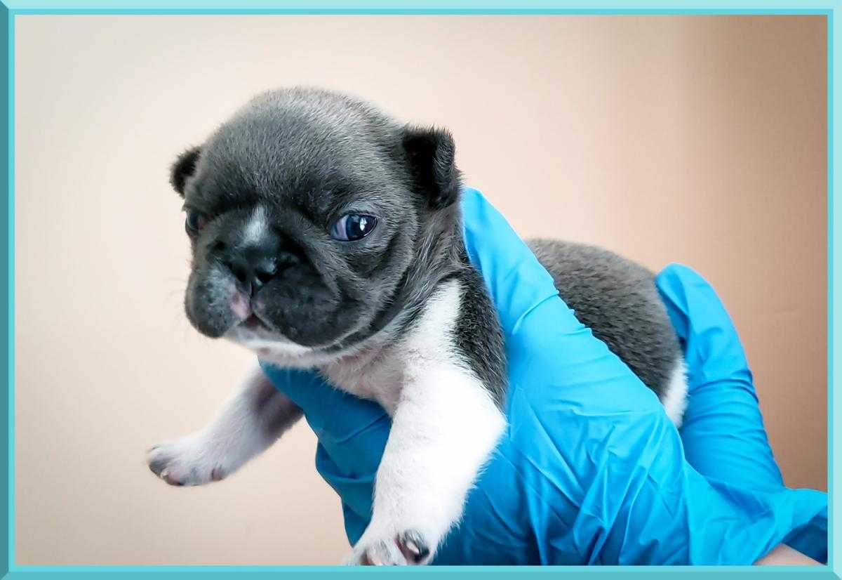 FRENCH BULLDOG PUPPIES FOR SALE IN SOUTH CAROLINA