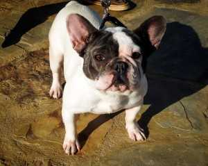 French Bulldogs From South Carolina