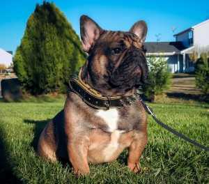 DSCN7403-French Bulldogs From South Carolina